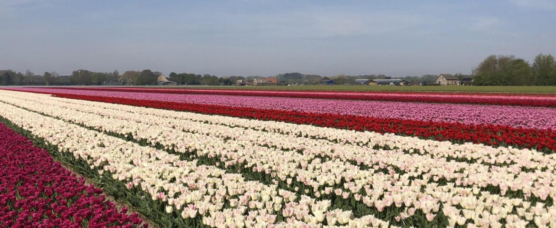 Inspirerende bloembollen in Noord-Holland